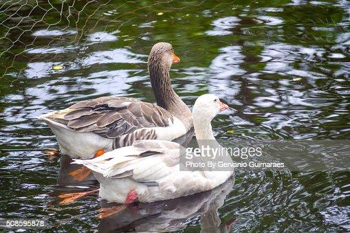 Ducks : Foto de stock