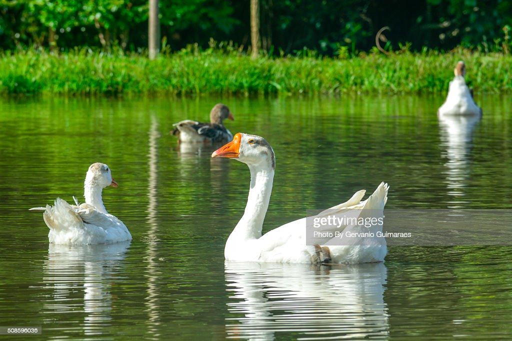 Ducks : Stock Photo