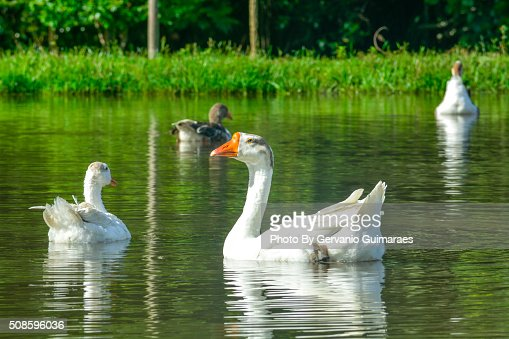 Ducks : Foto de stock