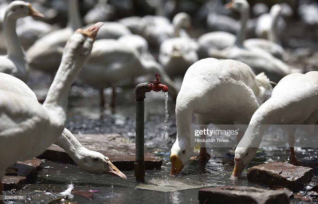 Ducks quench their thirst from the water dripping out of a tap as temperature remains high at Sanjay Lake, on May 5, 2016 in New Delhi, India. The national capital sizzling today as heat wave-like conditions prevailed across the city with mercury hovering above 40 degree Celsius, making life tough for the Delhiites.