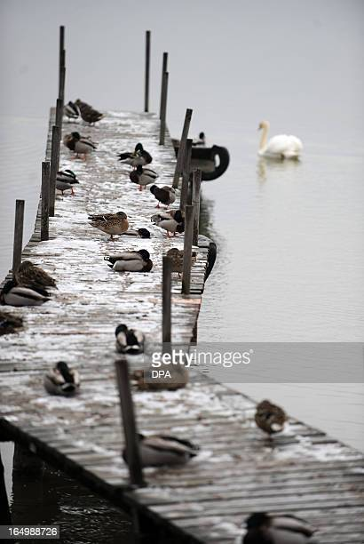 Ducks sit on a footbridge at the Ammersee lake near Inning southern Germany on March 30 2013 Meteorologists forecast temperatures around freezing...