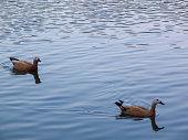Ducks swim on blue water. Nice urban area.