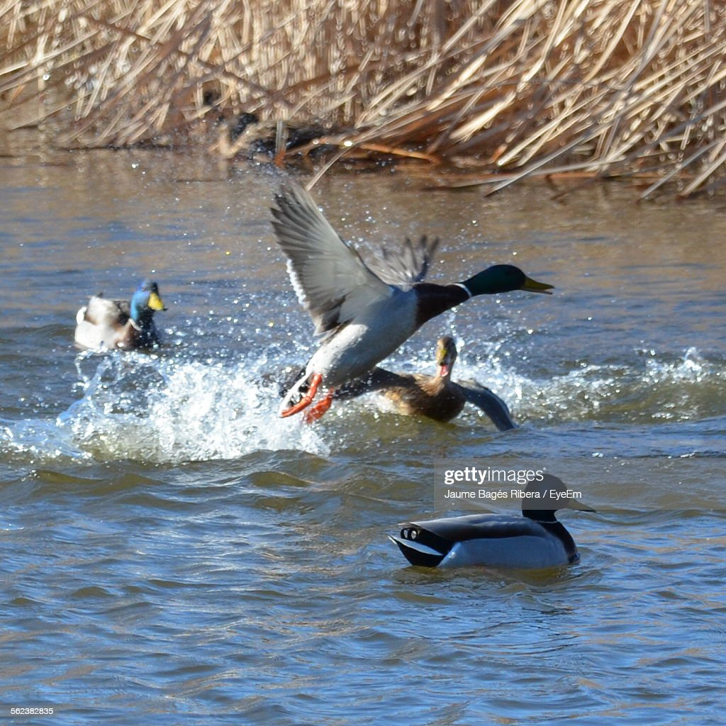 Ducks Swimming And Flying On River Stock Photo | Getty Images