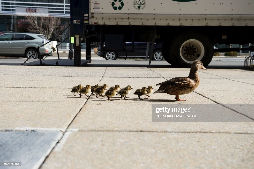 Ducks walk along a sidewalk on Connecticut Avenue NW February 12, 2016 in Washington, DC. / AFP / Brendan Smialowski