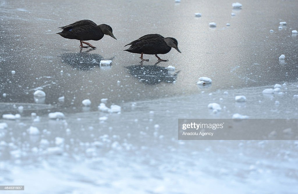 Ducks walk over a Central Park lake frozen due to the record cold temperatures after the snow storm in New York, United States, January 22, 2014.