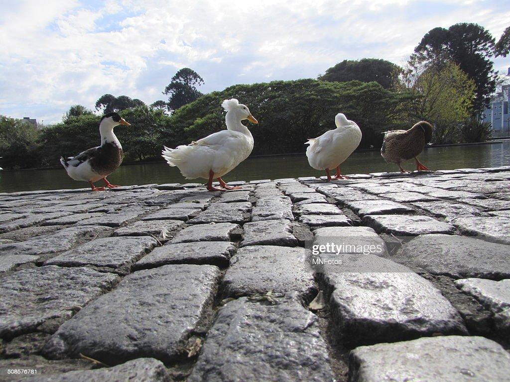 Canards marcher dans une rangée à proximité d'un lac : Photo