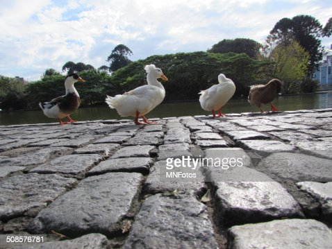 Ducks walking in a line near a lake : Stock Photo