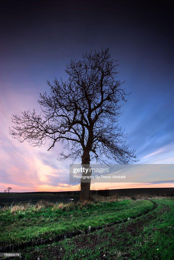Duddo Tree : Stock Photo