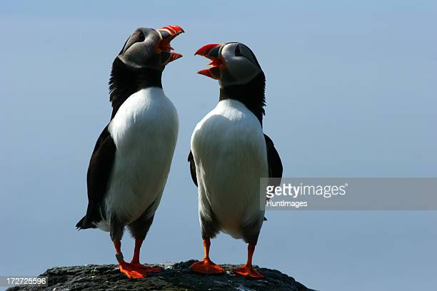 Duet of the Puffins