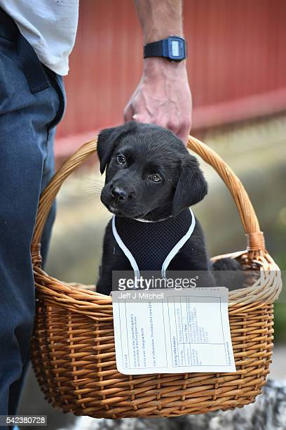 Duke an eight week old Labrador Collie sits in a basket with his owner's EU referendum polling card outside Notre Dame Primary School polling station...