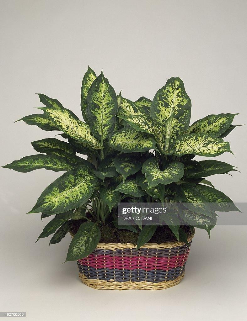 Dumb cane (Dieffenbachia maculata), Araceae.
