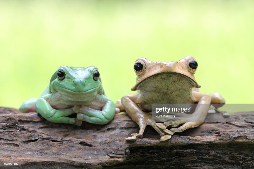 Dumpy tree frog and eared frog sitting on tree trunk, Indonesia
