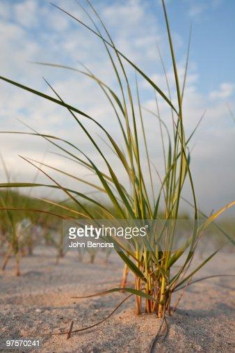 Dune Grass at Sunset