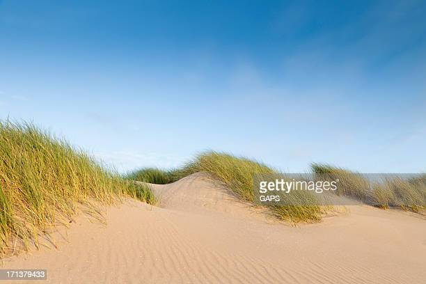 dune grass blowing in the wind against a blue sky