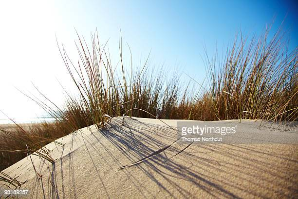 Dune grass on a sand dune at the beach.