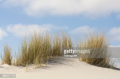 Dunes with marram grass : Stock Photo