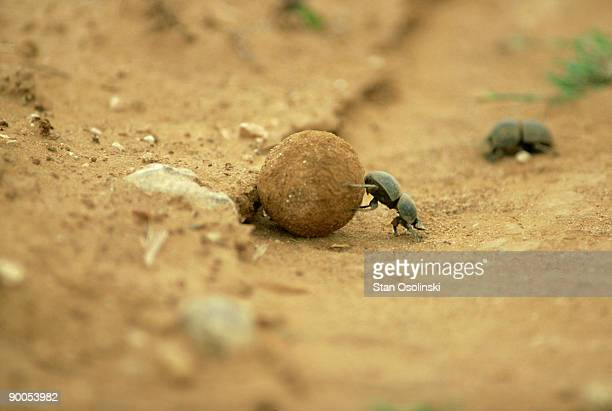dung beetle: circellum bacchus  rolling dung ball  addo elep hant n.p. s. africa