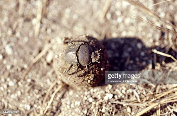 Dung Beetle Kgalagadi Transfrontier Park South Africa