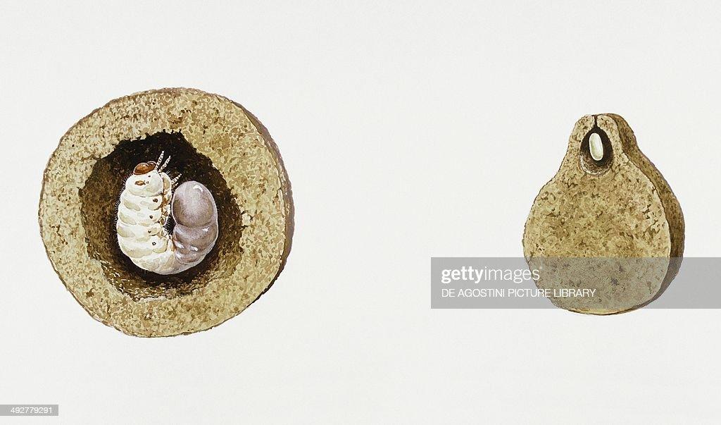 Dung beetle larva. Artwork by Tim Hayward and Bernard Thornton.