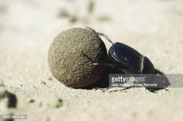 Dung beetle (Scarabaeus sacer) pushing dung ball, close-up