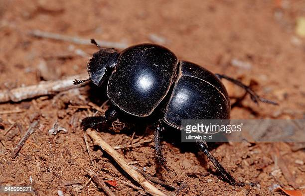 Dung Beetle Scarab Beetle Scarabaeus Pachylomeras femoralis South Africa Addo Elephant National Park