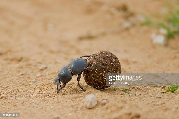 Dung beetle -Scarabaeidae- at Addo Elephant Park, South Africa