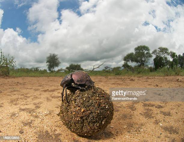 dung beetle with dungball, wide angle