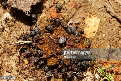 Esterco Escaravelhos nas fezes e : Foto de stock