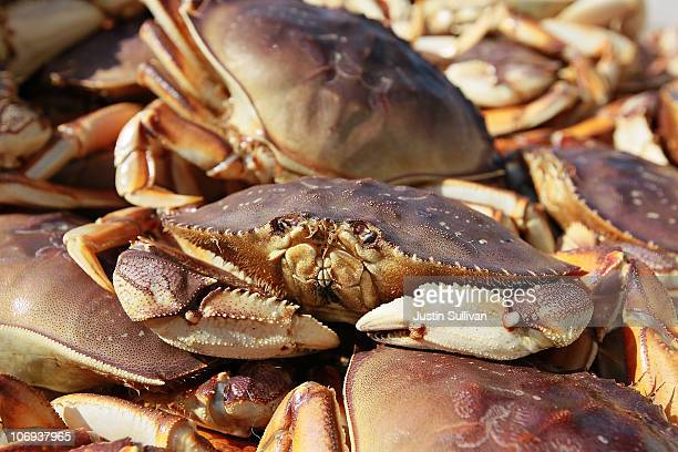 Dungeness Crab sits in a bin after being offloaded from a fishing vessel on November 17 2010 in San Francisco California After a brief delay due to...