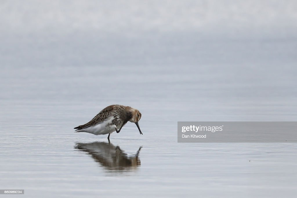 A Dunlin rests on a pond at the Kent Wildlife Trust's Oare Marshes in the Thames Estuary on October 13, 2017 in Faversham, England.