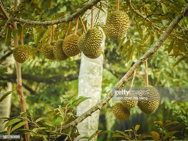 Durian - King of fruits in Asia