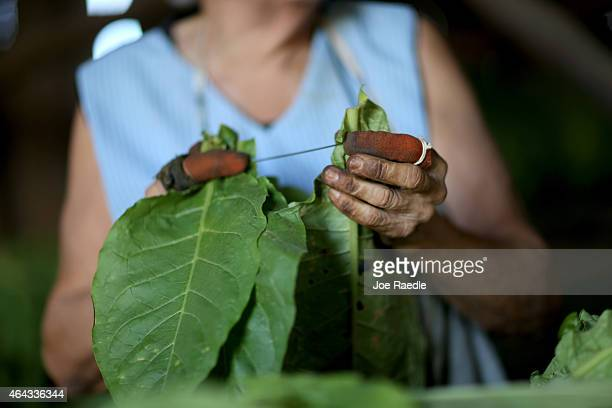 During the weeklong International Habano Cigar Festival a worker readies tobacco leaves for drying at a tobacco drying house on a plantation in...