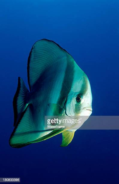 Dusky Batfish or Red Faced Batfish (Platax pinnatus), Maldive Islands, Indian Ocean