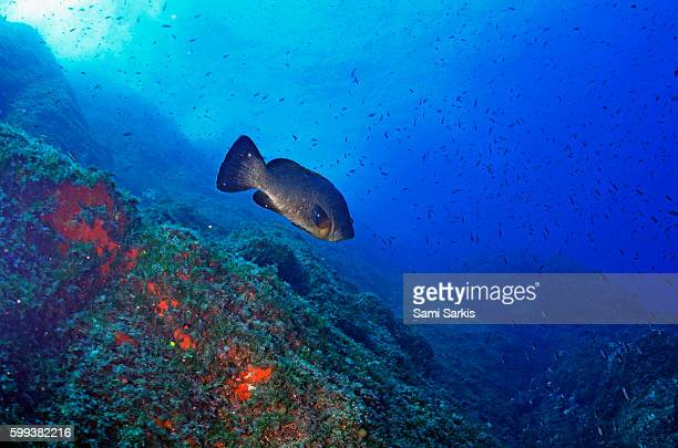 Dusky Grouper (Epinephelus Marginatus), Port-Cros, France, Europe