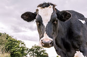 Dutch black and white cow