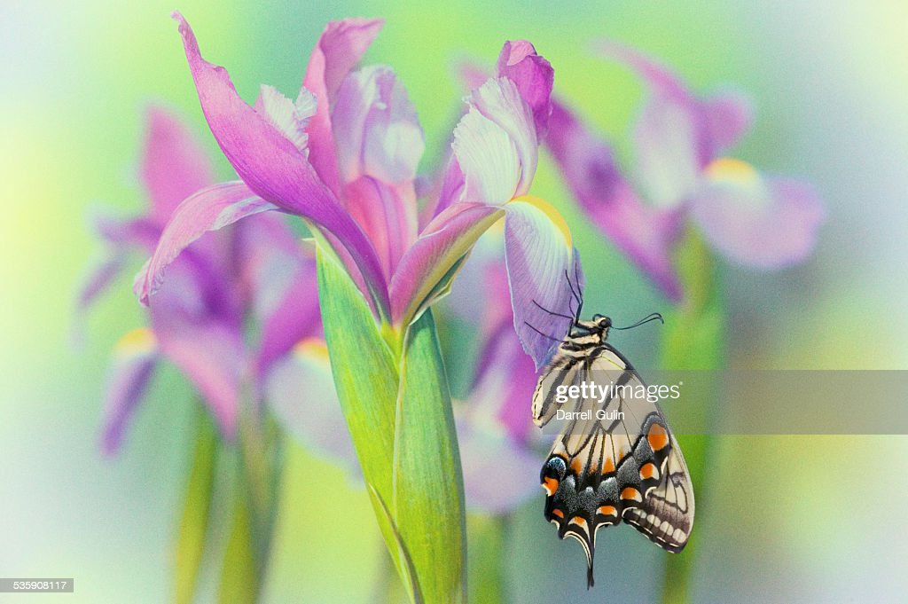 Dutch iris, eastern tiger swallowtail butterfly : Stock Photo