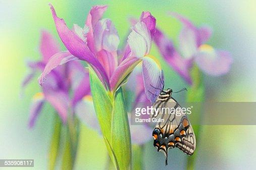 Dutch iris, eastern tiger swallowtail butterfly : Stock Photo