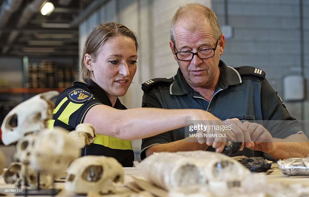 A dutch police officer and a custom officer look at animal skulls displayed at the police headquarters in Rotterdam after a seizure by Dutch police...