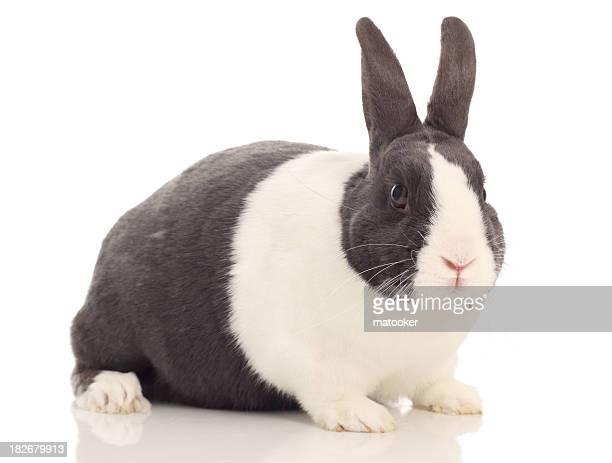 Niederländische Kaninchen