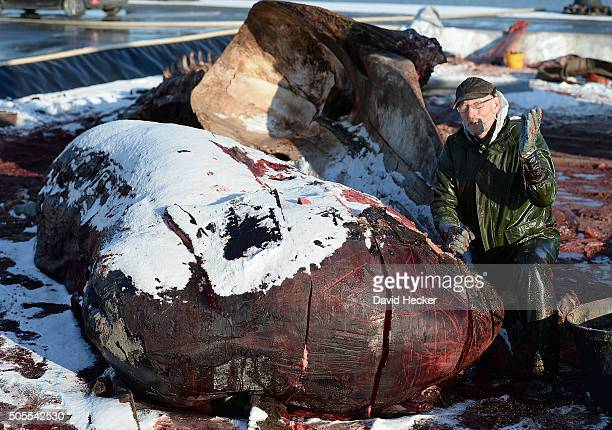 Dutch taxidermist Aart Walen poses besides one of two dead sperm whales that recently appeared on the beach of Wangerooge Island on January 18 2016...