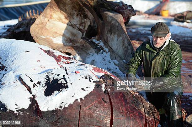 Dutch taxidermist Aart Walen works on one of two dead sperm whales that recently appeared on the beach of Wangerooge Island on January 18 2016 in...