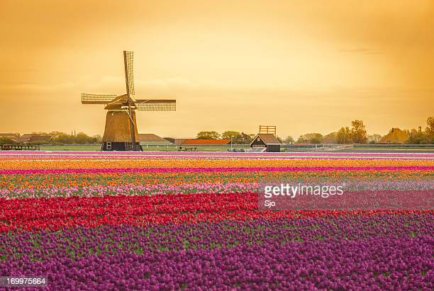 Dutch Windmill and tulips in a field during spring