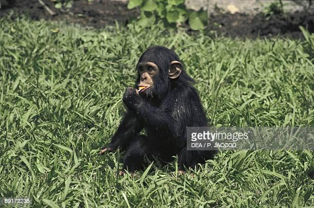 Dwarf chimpanzee eating leaves