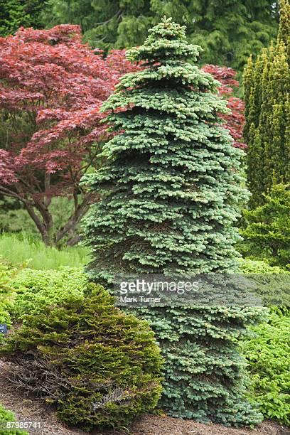 Dwarf Colorado spruce tree