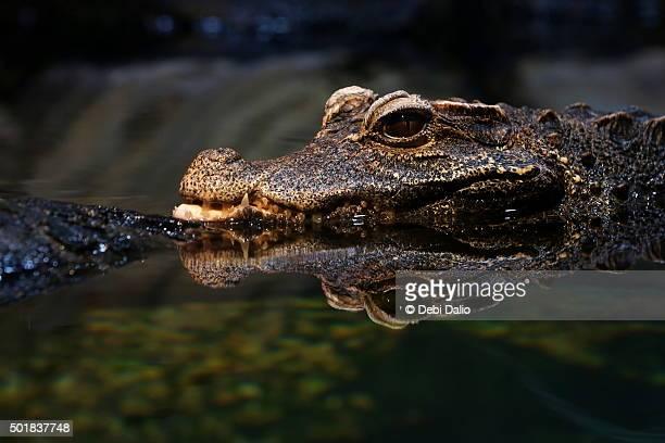 Dwarf Crocodile Head Reflection