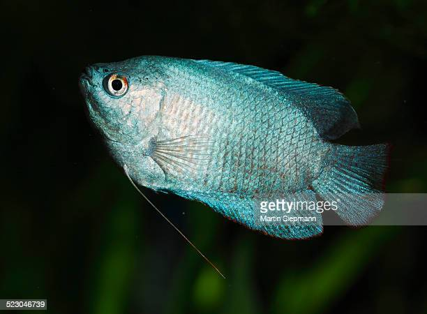 Dwarf gourami -Colisa lalia-, male, neon blue cultivated form, freshwater aquarium fish, native to India