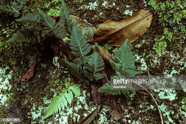 Dwarf haresfoot fern Humata repens occurs in a wide variety of habitats including rainforest vine thickets eucalypt woodlands and mangroves East...