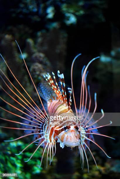 Zwerg-Zwergfeuerfisch