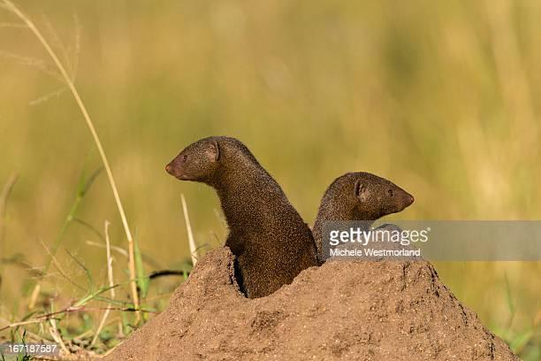 Dwarf Mongoose, South Africa.