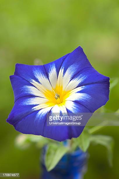 Dwarf Morning Glory Convolvulus Minor flower